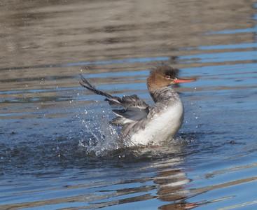 Red-breasted Merganser San Elijo Lagoon 2019 02 11-1-2.CR2