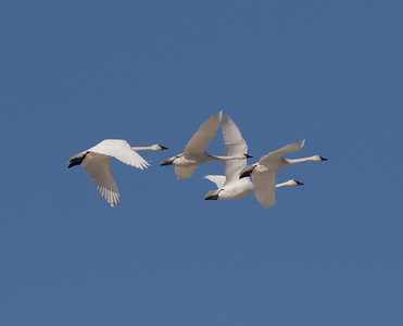 Tundra Swan Warm Lake nearCrowley Lake 2020 10 30.CR2