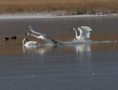 Tundra Swan Warm Lake nearCrowley Lake 2020 10 30-8.CR2