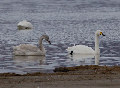 Tundra Bewick`s Swan Crowley Lake 2011 11 27 (5 of 6).CR2