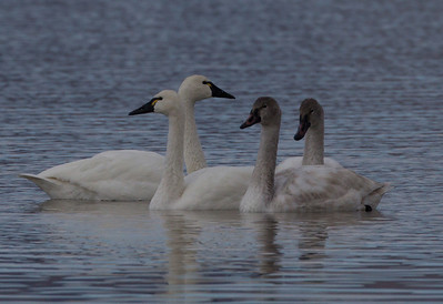 Tundra Swan Crowley Lake 2011 11 27 (11 of 11).CR2