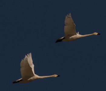 Tundra Swan (Bewick`s) Warm Lake nearCrowley Lake 2020 10 30-4.CR2