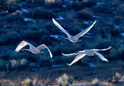 Tundra Swan Crowley Lake area  2011 11 24 (5 of 5).CR2