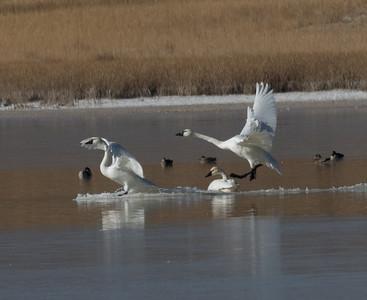 Tundra Swan Warm Lake nearCrowley Lake 2020 10 30-7.CR2