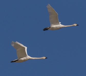 Tundra Swan (Bewick`s) Warm Lake nearCrowley Lake 2020 10 30-5.CR2