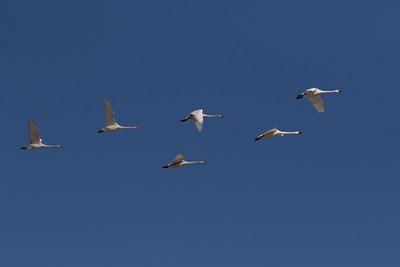 Tundra Swan (Bewick`s) Warm Lake nearCrowley Lake 2020 10 30-6.CR2