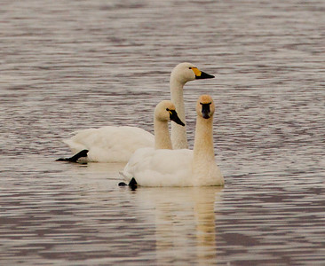 Tundra Bewick`s Swan Crowley Lake 2011 11 27 (3 of 6).CR2