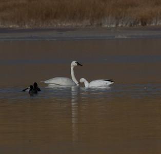 Tundra Swan Snow Goose Warm Lake nearCrowley Lake 2020 10 30.CR2