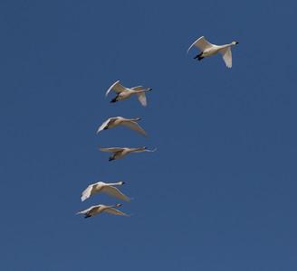 Tundra Swan (Bewick`s) Warm Lake nearCrowley Lake 2020 10 30.CR2