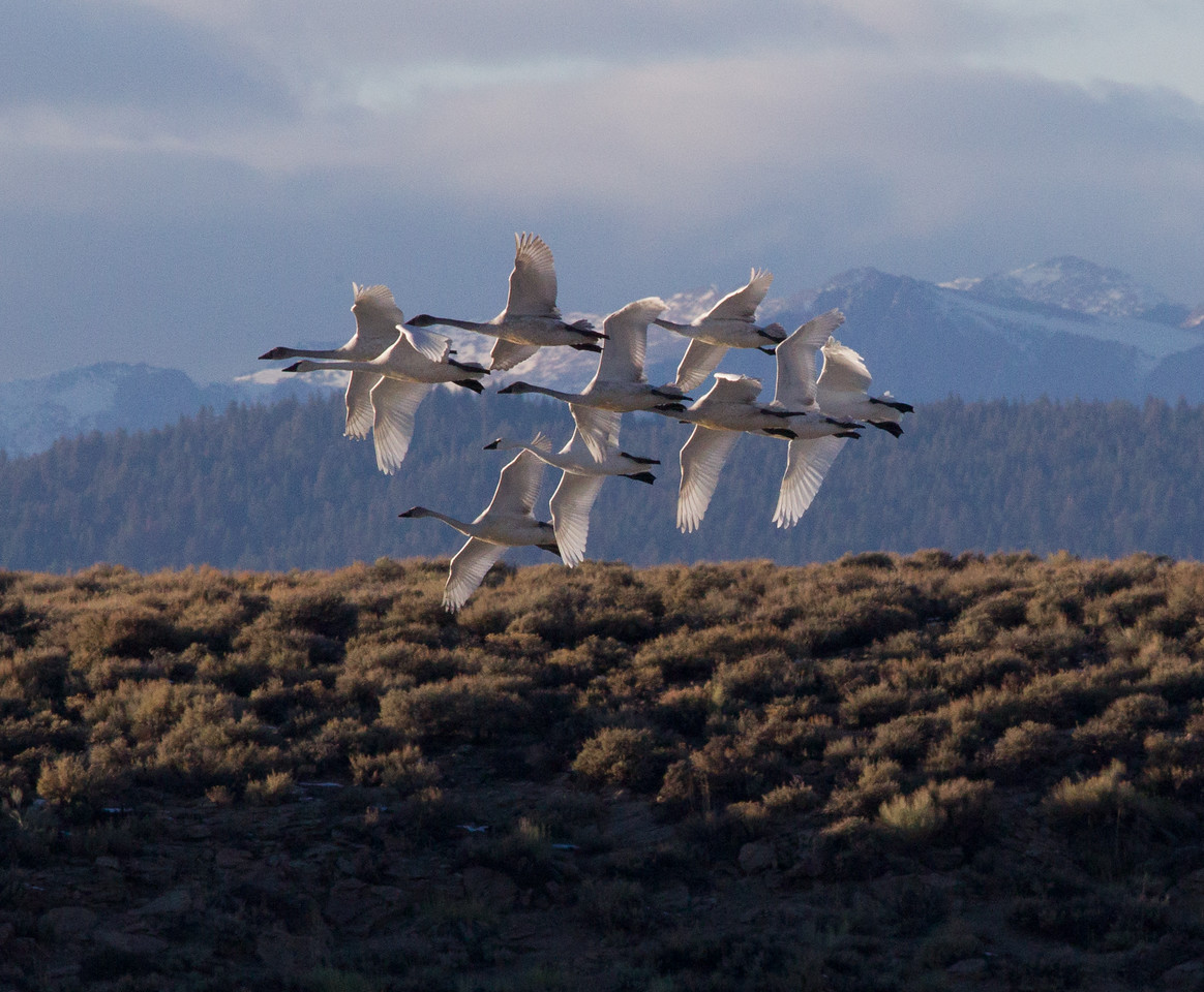 Tundra Swan Crowley Lake area  2011 11 24 (2 of 5).CR2
