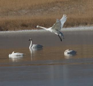 Tundra Swan Warm Lake nearCrowley Lake 2020 10 30-6.CR2