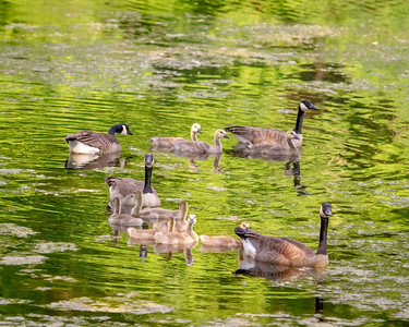 Geese and Goslings at Red Hill