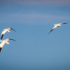 Snow Geese in Arizona