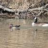 Wood Duck with Goose
