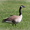 Wild Goose at East Fork Lake in Olney, Illinois