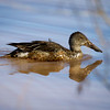Northern Shoveler--female