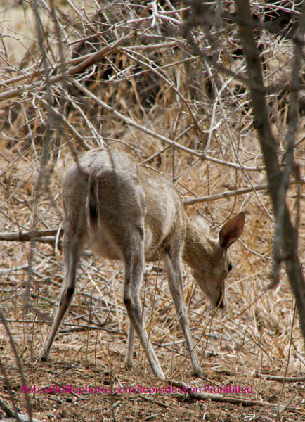 This is the position of the duiker that sparked Sherry's interest. It was just staring at the ground.