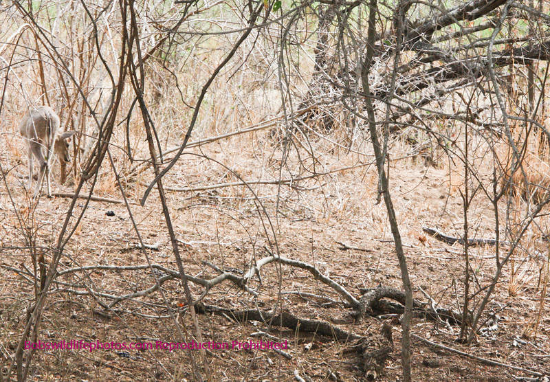 The duiker moved away from the snake viewing it from a distance.