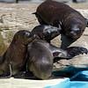 Seal cubs bonding through play
