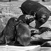 Seal cubs bonding through play (b/w)