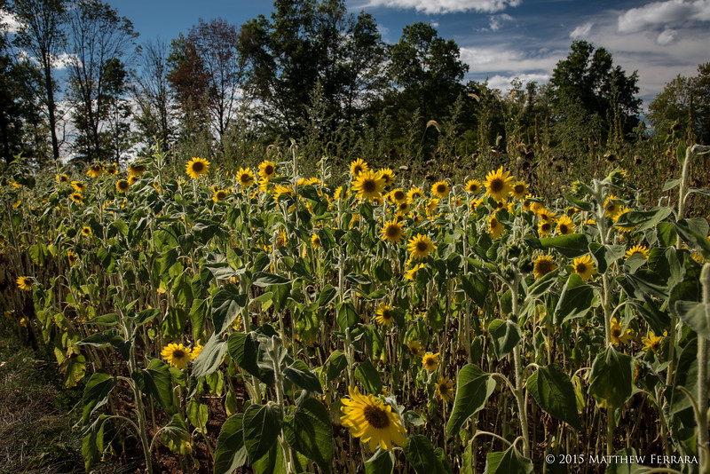 The Last Sunflowers, Duke Farms, New Jersey