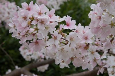 Cherry Trees by Duke Chapel, April 2014