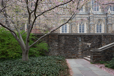 Cherry trees beside Duke Chapel