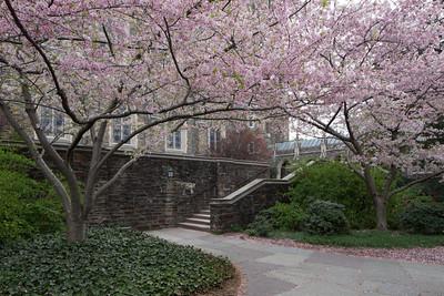 Cherry trees beside Duke Chapel