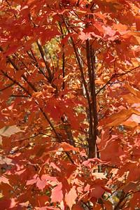 Fall Foliage, Duke University, November 2005