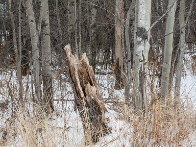 Old tree stump like a jagged tooth, Duluth, MN. #forest #oldwood