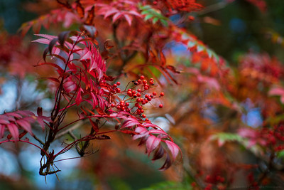 Red Berries, Red Leaves