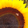 Honey bee at work on a sunflower.