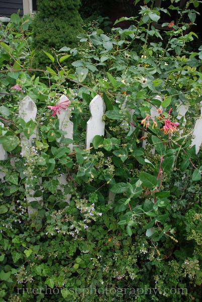 Saugatuck garden escaping through a white picket fence.