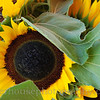 Sunflowers in a farm market.