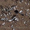 Zebra mussel shells washed up on the beach of Lake Michigan.