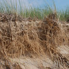 Roots of dune grass holding the sand, Saugatuck Dunes State Park.