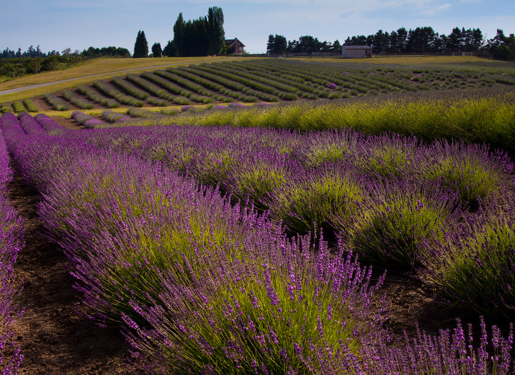Graysmarsh Farms Lavender