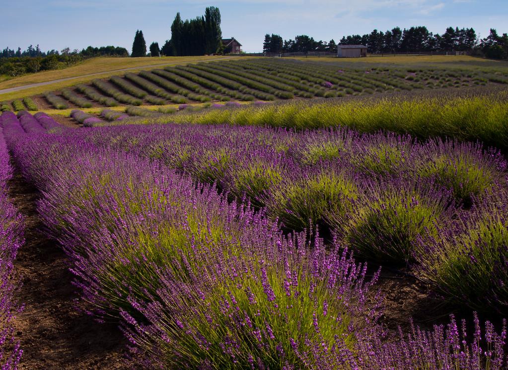 Graysmarsh Farms Lavender