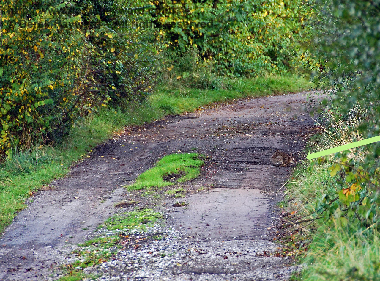 The area of Fielders Crossing was infested with rabbits, but only one shy one agreed to pose in the lane. 08.10.2008