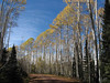 20101009k Impressively tall Aspens on Scotch Creek Rd