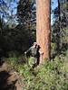 20 One of many huge Ponderosa Pines