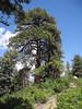 38 Beautifully shaped, huge ponderosa pine on top of the ridge