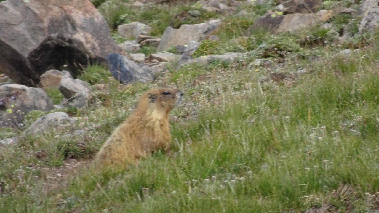 397 This marmot was large