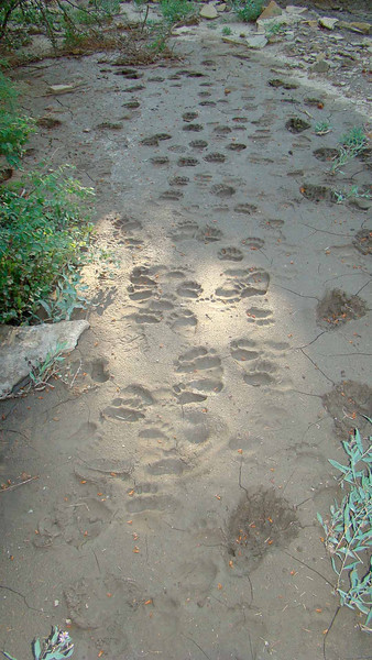 80 Past bear tracks in Perrins Peak SWA from Bryan jpeg