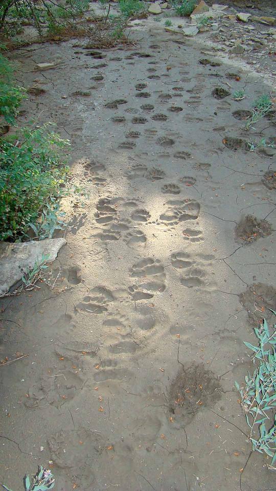 80 Past bear tracks in Perrins Peak SWA from Bryan jpeg