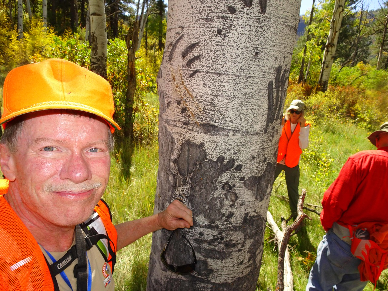 30 Bear claw scratches on an Aspen tree