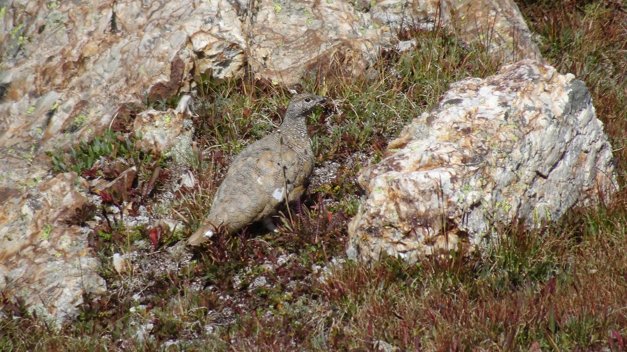 03 White tailed ptarmigan