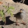White-crowned Sparrow, Ramona CA