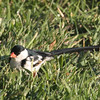 Pin-tailed Whydah, Ramona CA, 10/7/12