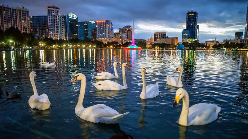 Swan Hour